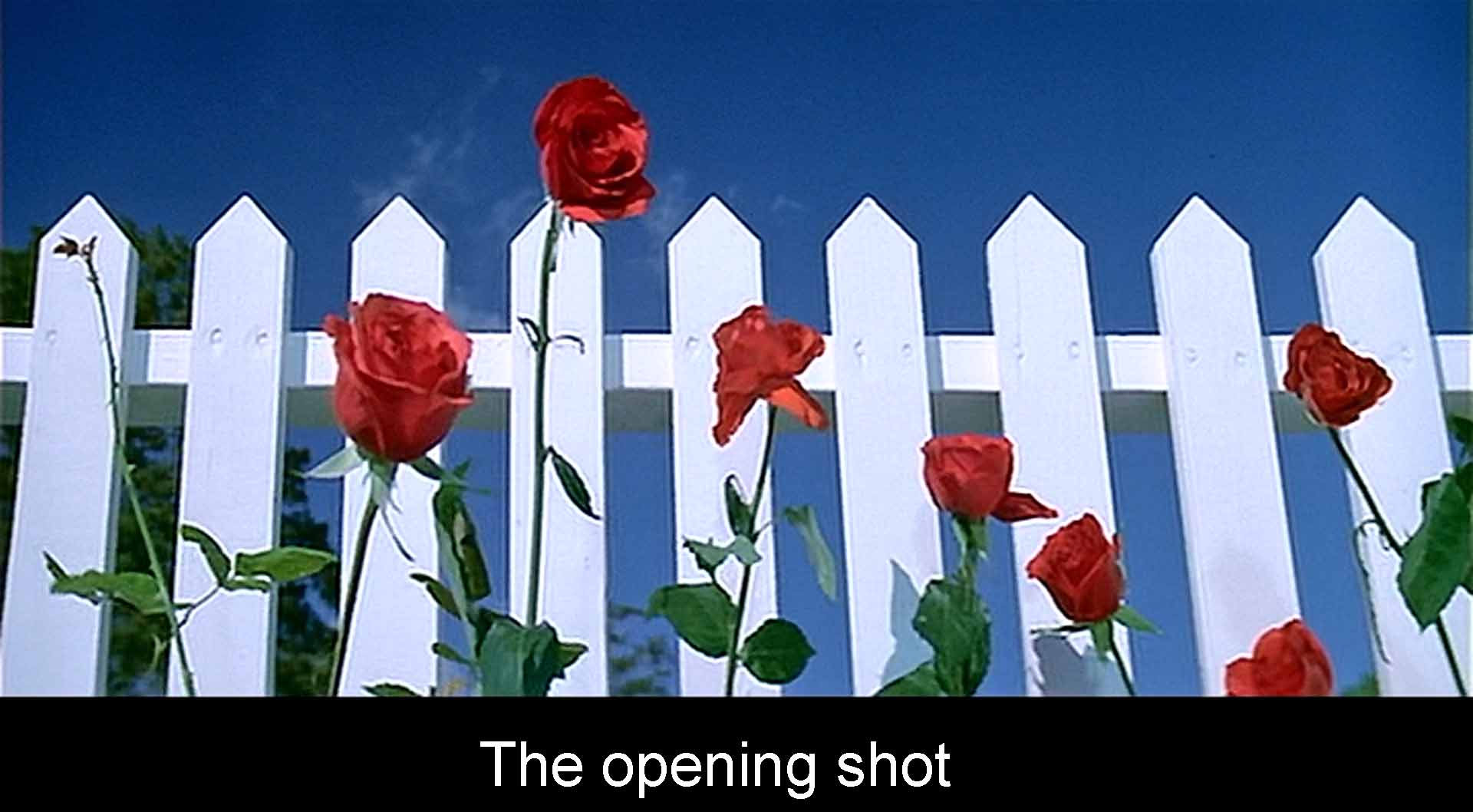 The opening red roses